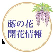 藤の花開花情報